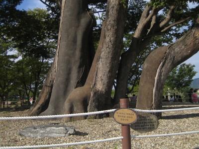 죽어가는 두물머리 나무